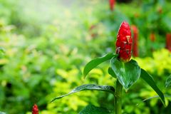 Costus speciosus, Indian Head Ginger in green tropical garden background Royalty Free Stock Images