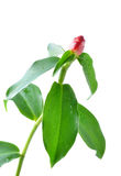 Costus spicatus, also known as Spiked Spirlaflag Ginger or India Royalty Free Stock Photos