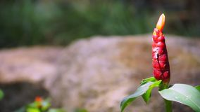 Costus spicatus, also known as Spiked Spirlaflag Ginger or Indian Head Ginger in the shade getting the sunshine light stock video