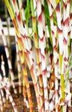 Costus Stenophyllus 库存图片