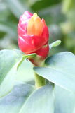 Costus Woodsonii Flower Royalty Free Stock Photography