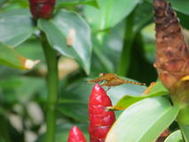 Costus woodsonii in Taman Suropati. A dragonfly perched on costus woodsonii in Taman Suropati Menteng, Jakarta, Indonesia Stock Image
