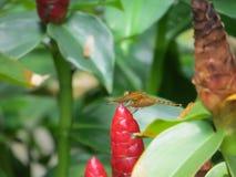 Costus woodsonii w Taman Suropati Obraz Stock