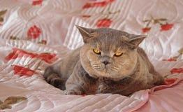 Cosy bedroom pedigree cat Royalty Free Stock Photo