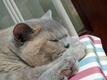 Cosy cat napping. Photo of a pedigree british shorthair cat having an afternoon nap on her favourite chair june 2017 Stock Images