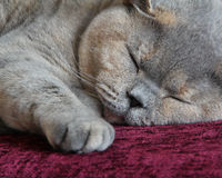 Cosy cat sleeping. Photo of a beautiful pedigree cat all nice and cosy on her favourite sofa fast asleep in the land of nod Royalty Free Stock Photos