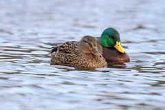 Cosy Couple. A couple of mallard ducks (Anas platyrhynchos) swimming together on a lake in winter Stock Photography