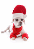 Cosy dog wearing a santa hat. Cosy dog wearing a scarf leg warmers and a santa claus hat for Christmas   White background Stock Photo