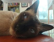 Cosy lying Siamese cat on wooden floor Royalty Free Stock Photography