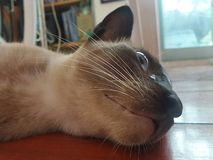 Cosy lying Siamese cat on wooden floor Royalty Free Stock Photos