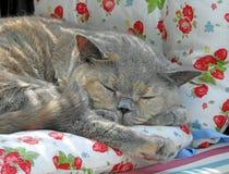 Cosy sleeping pedigree british shorthair cat stock photos