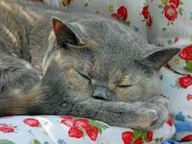 Cosy sleeping pedigree british shorthair cat royalty free stock images