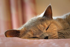 Cosy sleeping pedigree cat Stock Image