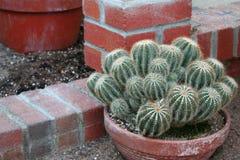 cota kaktusowy terra zdjęcia stock