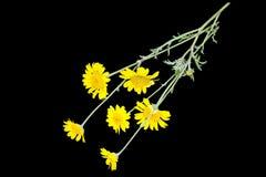 Cota tinctoria (Anthemis tinctoria) on a black background Stock Photography