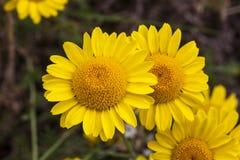 Free Cota Tinctoria Anthemis Tinctoria `Golden Rays` Stock Photo - 154160610