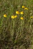 Cota tinctoria. (golden marguerite, yellow chamomile, oxeye chamomile), golden yellow flowers Stock Photo