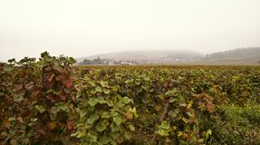 Cote d'Or vineyards, Burgundy. Misty morning on Cote d'Or, Burgundy Royalty Free Stock Images