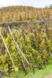 Cote Rotie, Rhone-Alpes, France. Grand cru vineyard of Cote Rotie, Rhone-Alpes, France Stock Photo