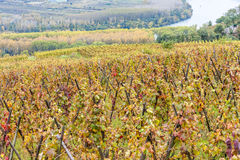 Cote Rotie, Rhone-Alpes, France Royalty Free Stock Photos