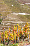Cote Rotie, Rhone-Alpes, France Stock Photography