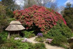COTEHELE, CORNWALL/UK - 14 DE ABRIL: Rododendro magnífico en C fotografía de archivo