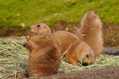 Coterie of prairie dogs Royalty Free Stock Image