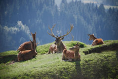 The coterie. Scene from live of the family of Tirolish deers resting together on the mountain meadow on the grass royalty free stock photos