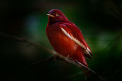 Cotinga del Pompadour, punicea di Xipholena, uccello tropicale raro esotico nell'habitat della natura, foresta verde scuro, Amazo fotografia stock