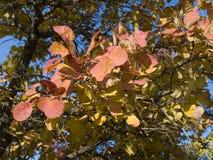 Cotinus灌木在秋天 免版税库存图片