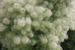 Cotinus Royaltyfria Bilder