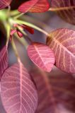 Cotinus Royalty Free Stock Photos