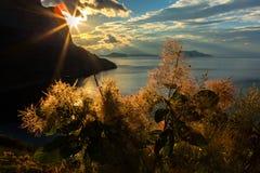 以朝阳为背景的Cotinus coggygria 图库摄影