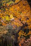 Cotinus coggygria Zdjęcia Royalty Free
