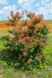 Cotinus coggygria or European smoketree. Royalty Free Stock Photos
