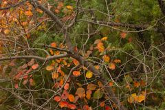 Cotinus coggygria smoketree w jesieni zdjęcia royalty free