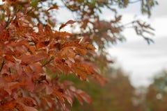 Cotinus coggygria smoketree w jesieni fotografia royalty free