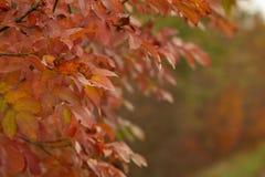 Cotinus coggygria smoketree w jesieni obrazy royalty free