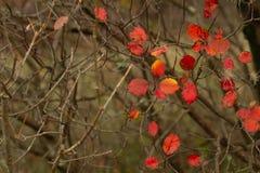 Cotinus coggygria smoketree w jesieni zdjęcia stock