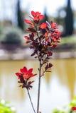 Cotinus coggygria Royalty Free Stock Photos