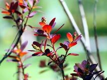 Cotinuscoggygria - rökträd Arkivbilder