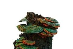 Coto com cogumelos Fotos de Stock Royalty Free