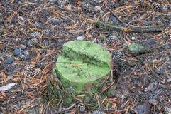 Coto com molde verde outono seco os cones caídos encontram-se nas agulhas Fundo, textura Imagens de Stock Royalty Free