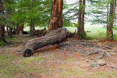 Coto com outras árvores Fotografia de Stock Royalty Free