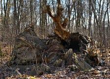 Coto da árvore caída imagem de stock royalty free