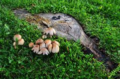 Coto de árvore cercado por cogumelos Fotografia de Stock