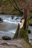 Coto de árvore coberto musgo em quedas de Golitha Fotos de Stock Royalty Free