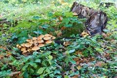 Coto de árvore com cogumelos e musgo Fotos de Stock