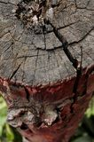 Coto de árvore de Matoa Foto de Stock Royalty Free