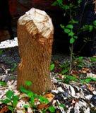 Coto de árvore mastigado pelo castor em Forest Wood Fotos de Stock Royalty Free